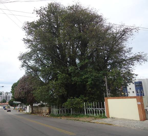 Um baobá no meio da cidade