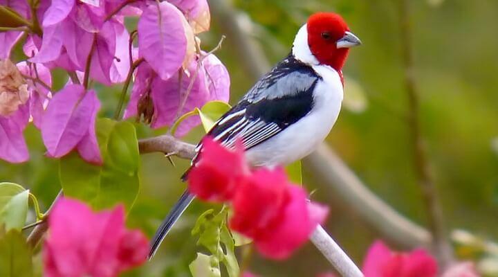 Aves mais comuns de se encontrar no RN