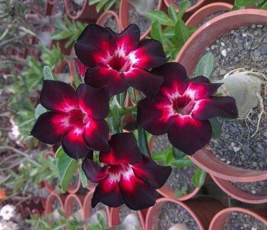Essas lindas flores estarão expostas em Natal no mês de março