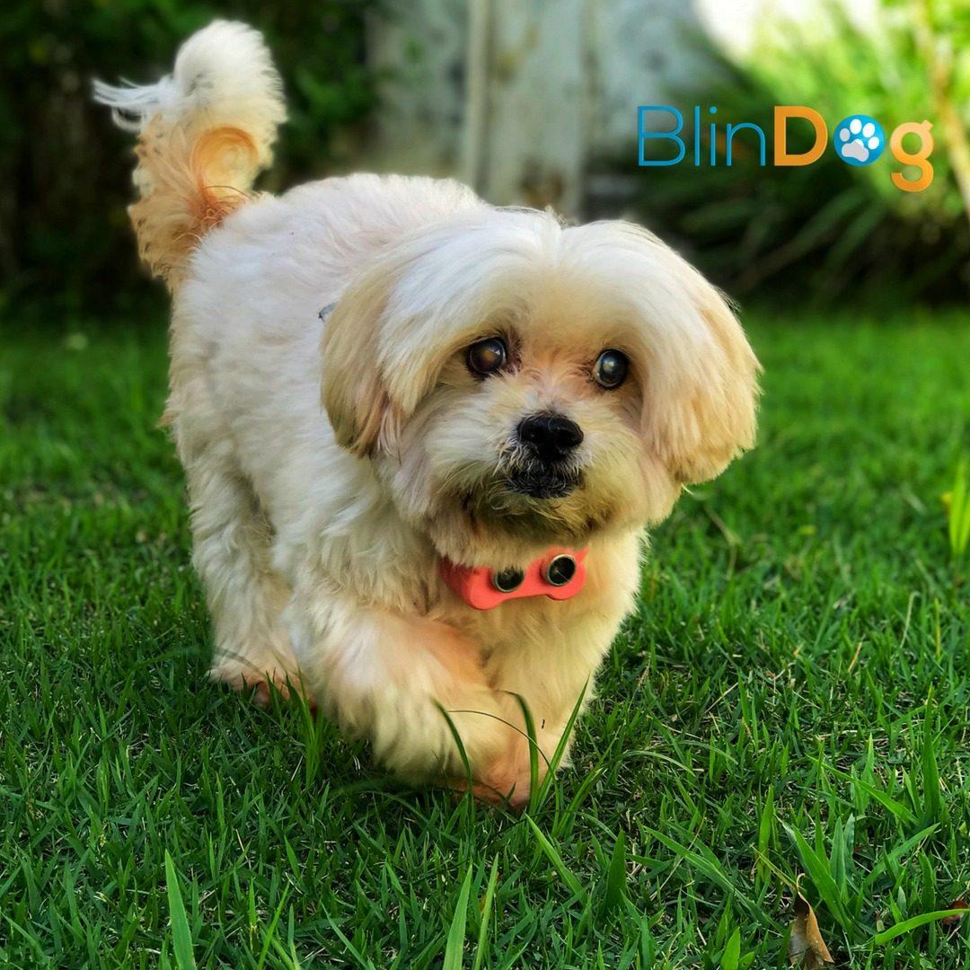 Como está o desenvolvimento da coleira potiguar para cães cegos?