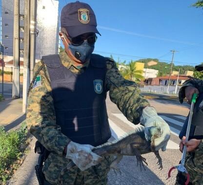 Em um mês são resgatadas 10 iguanas em Natal